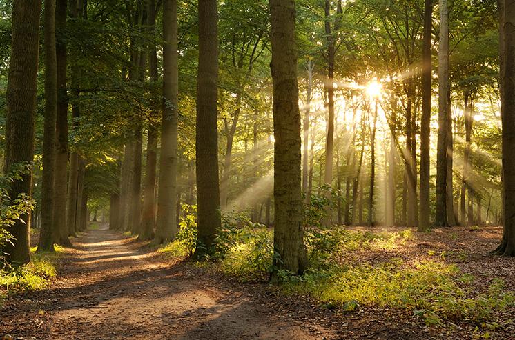 Il s'agit de la photo de la forêt où un sentier se dessine entre les arbres. Des rayons du soleil passent à travers le feuillage des arbres.